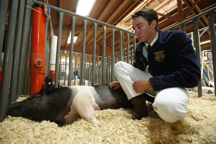 "Jason Stone, 15, from Escondido High's Future Farmers of America (FFA) spends some time with his 207 pound pig named ""Daisy Duke"" following the junior auction where his pig sold for 2.50 per pound."