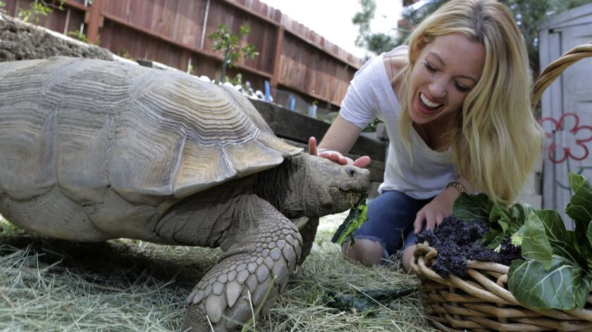 Restaurateur Jessica Waite feeds her rescued African spurred tortoise, Winston Churchill, some leafy, green vegetables in the backyard of the Oceanside home she shares with her husband, chef and fellow restaurateur, Davin Waite.