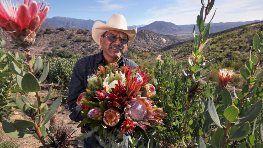 Portrait of Mel Resendiz, of Resendiz Brothers Protea Growers, with a bouquet of proteas among the plants at one of his properties where he grows them overlooking Pauma Valley.