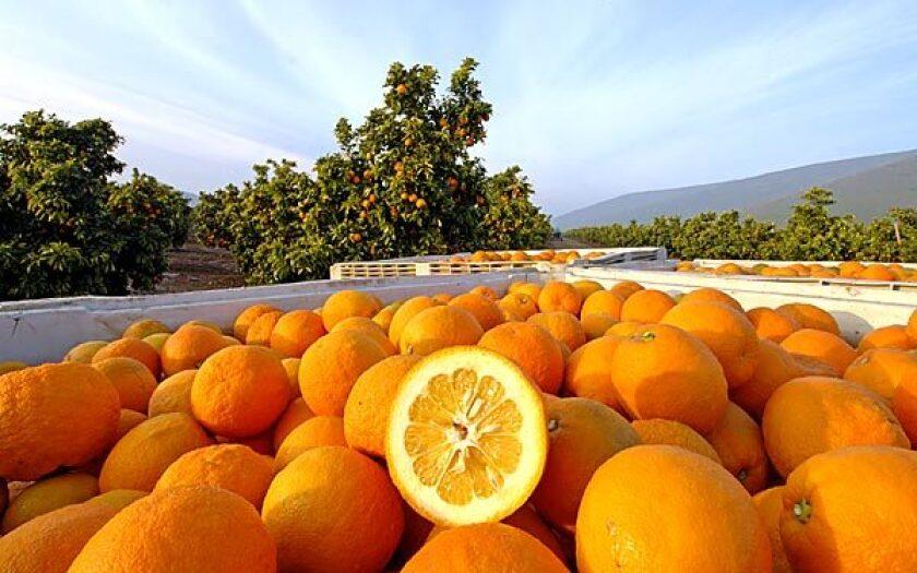 Harvested sour oranges (a.k.a. Seville or bitter) at the JB Ranch in Seville, Calif.