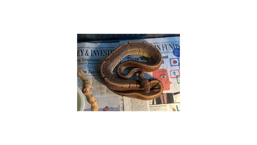 A ball python found wrapped around the neck of a pedicab driver in downtown San Diego was seized by animal officials. The driver was arrested on suspicion of drunk driving.