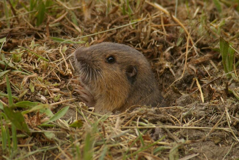 Pocket gophers blend in well with their surroundings.