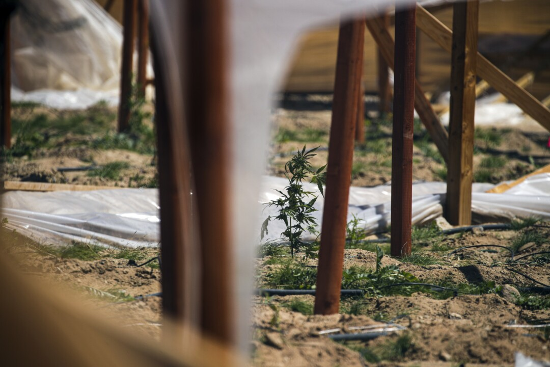 An illegal pot farm in Joshua Tree after it was raided in April by San Bernardino County Sheriff's officials.