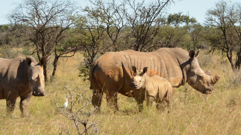 This white rhino cow and its two calves belong to South African John Hume, who owns 1,500 of them. R