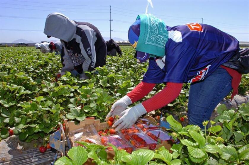 Recolectores de fresas en Oxnard, California, en plena faena. EFE/Archivo