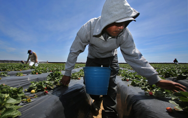 Macedonio de Jesus Lopez picks strawberries for export to the U.S. at the DeWayne Hafen farm in the San Quintin Valley of Baja California.