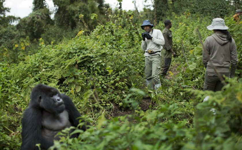 """FILE - In this Friday, Sept. 4, 2015 file photo, tourist Stephen Fernandez, center-right, takes photos of a male silverback mountain gorilla from the family of mountain gorillas named Amahoro, which means """"peace"""" in the Rwandan language, in the dense forest on the slopes of Mount Bisoke volcano in"""