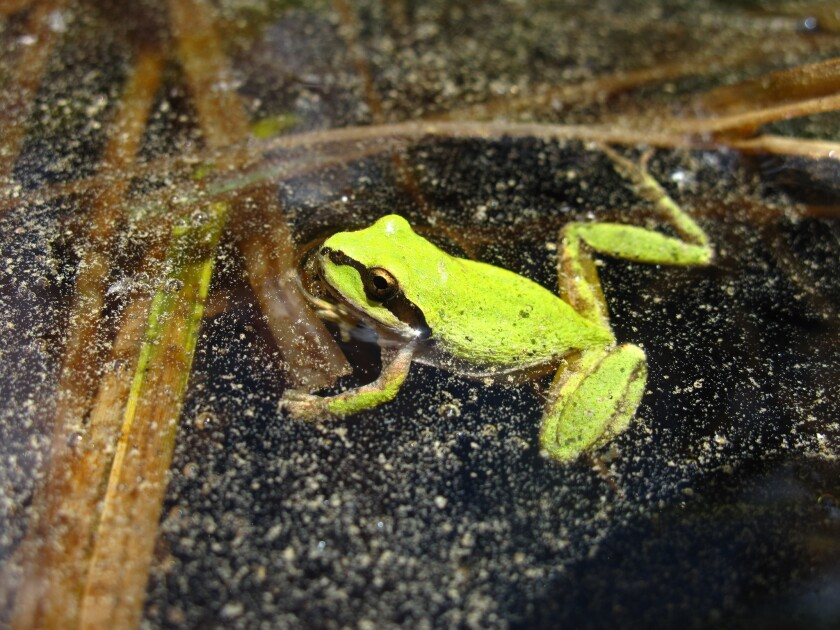 Pacific chorus frogs like this one were found to contain traces of 10 agricultural chemicals that were used in farming fields up to 100 miles away, according to a new study.