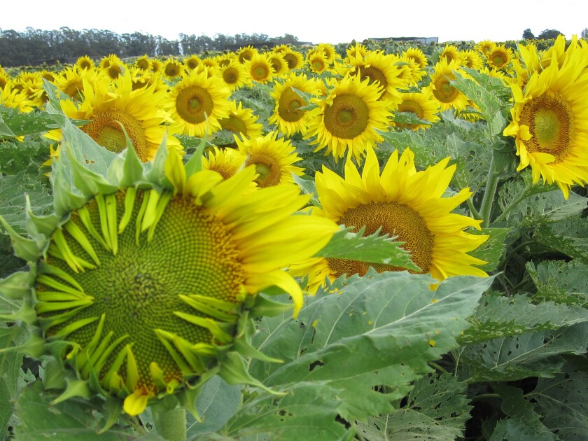 A new study investigates the mysteries of sunflowers.