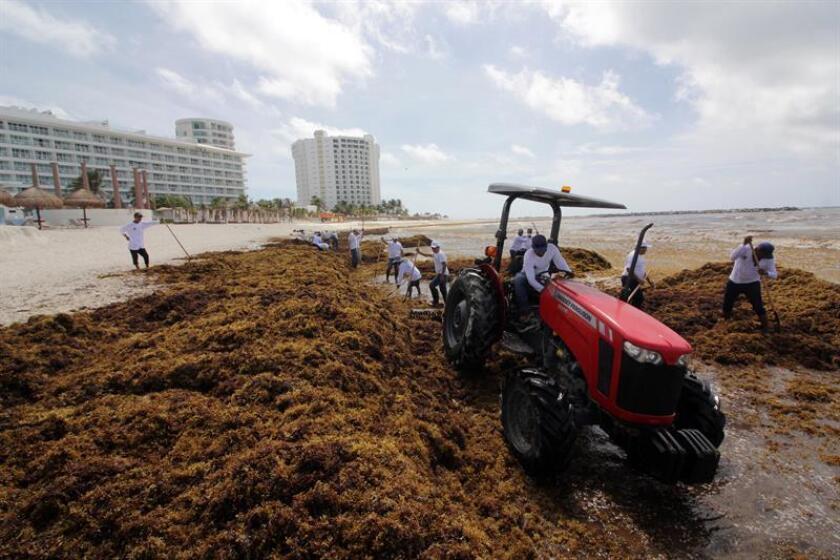 Voluntarios de la Secretaría de Medio Ambiente retiran las algas sargazo hoy, viernes 22 de junio de 2018, en playas de Cancún, en el estado de Quintana Roo (México). EFE