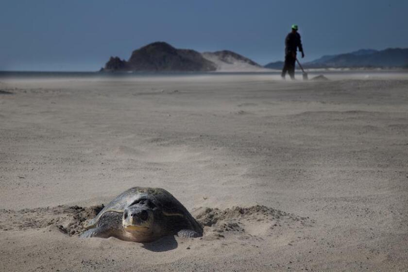 La población de tortugas marinas y de otros reptiles como cocodrilos y lagartijas puede disminuir a causa del cambio climático, informó hoy el Foro Consultivo Científico y Tecnológico (FCCYT) de México. EFE/ARCHIVO