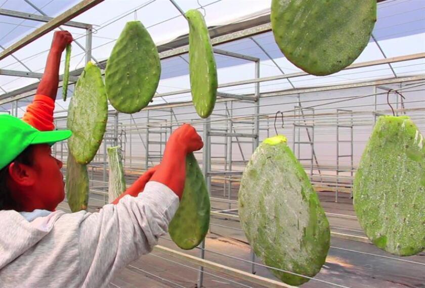 Fotograma extraído de un vídeo del 6 de febrero de 2018, que muestra a agricultores trabajando con la grana cochinilla (Dactylopius coccus) en el municipio de Peñamiller Querétaro (México). EFE/MÁXIMA CALIDAD DISPONIBLE