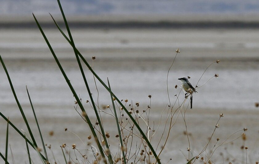 A loggerhead shrike perches on the shore of a dry lake in the Mojave Desert.