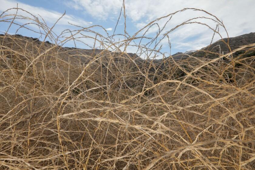 466939_sd_invasive_grasses_CN_003.jpg
