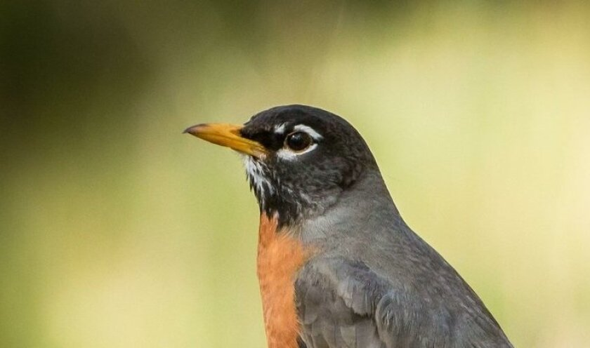 An American robin, photographed at Cuyamaca Rancho State Park near the old Stonewall Mine.