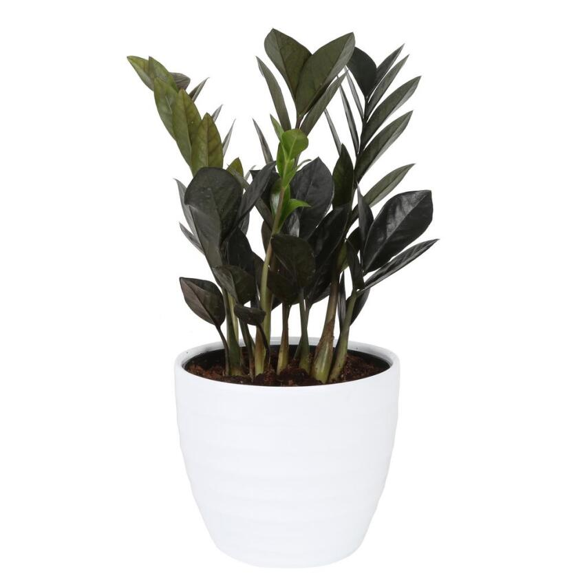 house-plants-co-zzb6sc-3-tr-64_1000.jpg