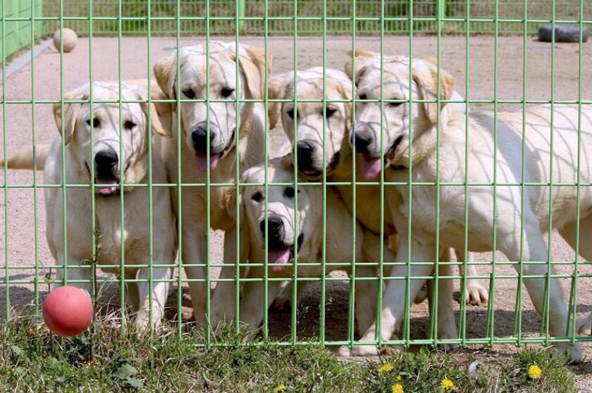 Los perros rastreadores pueden detectar malaria en personas, según estudio