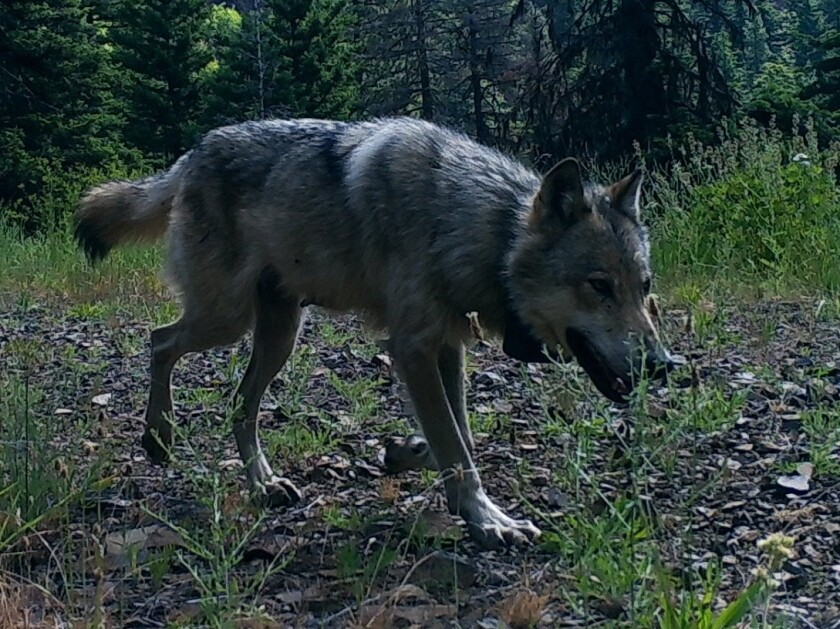 Gray wolf in Washington state