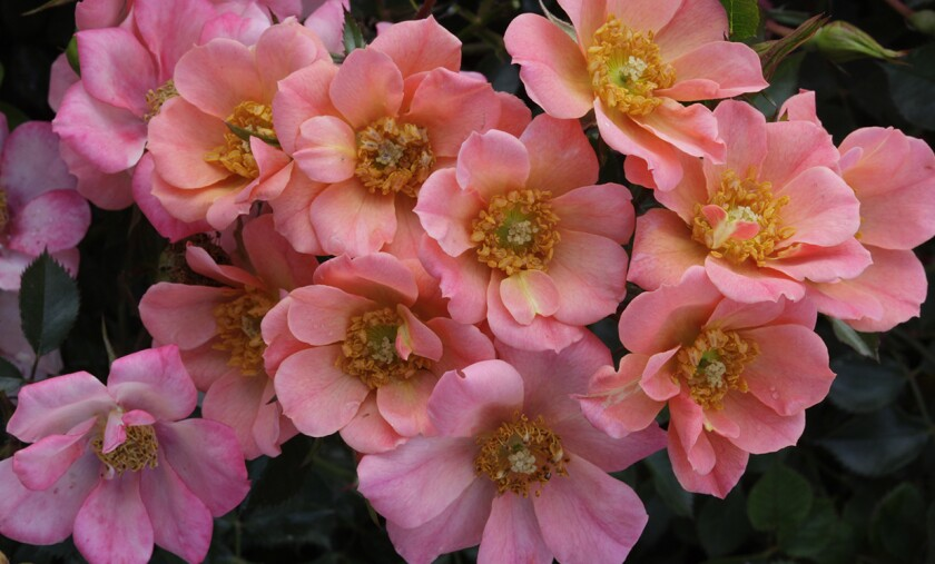 Sunset Happy Trails is a vigorous Carruth salmon colored ground cover rose.
