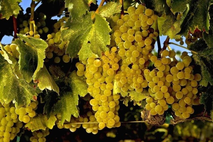 Grenache blanc grapes.
