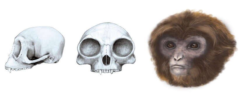 Pliobates cataloniae, an extinct species of primate, may shed light on the common ancestor of lesser and great apes.
