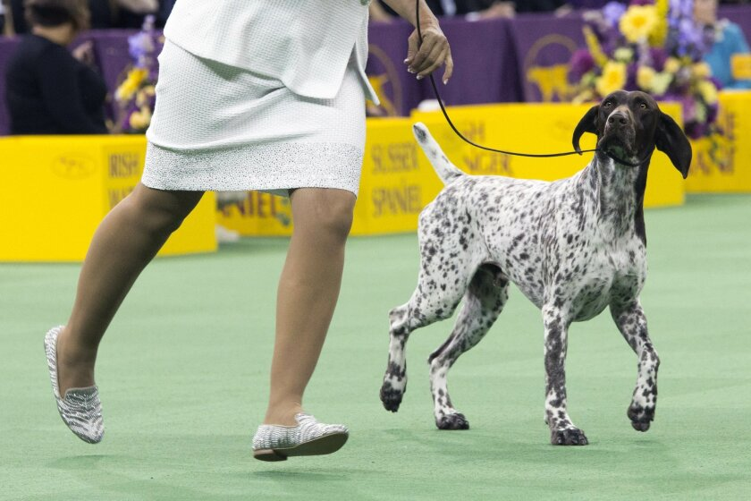 C.J., a German shorthaired pointer, is shown in the ring during the sporting group competition at the 140th Westminster Kennel Club dog show, Tuesday, Feb. 16, 2016, at Madison Square Garden in New York. C.J. won best in Sporting group. (AP Photo/Mary Altaffer)