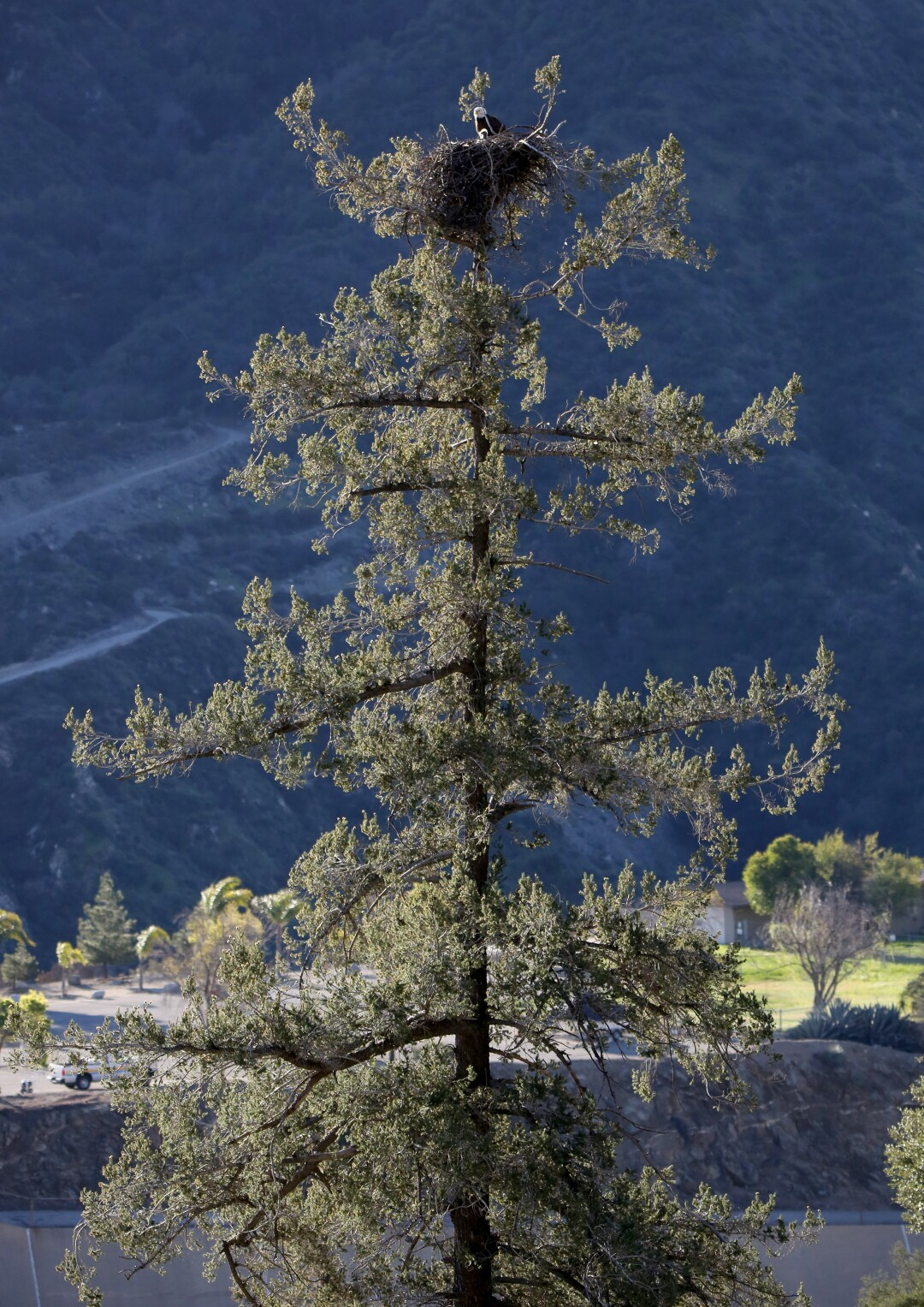 The bald eagles and their chicks high atop a pine tree in the San Gabriel Mountains.