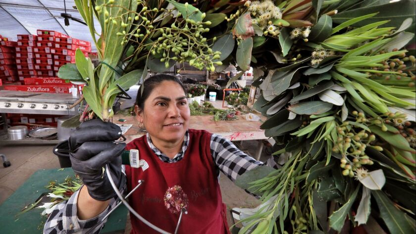At Resendiz Brothers Protea Growers Cenovia Gutierrez assembles a holiday wreath with proteas.
