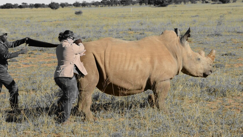 After darting a rhino cow, vet Michelle Otto is the first to approach the 2-ton animal to blindfold
