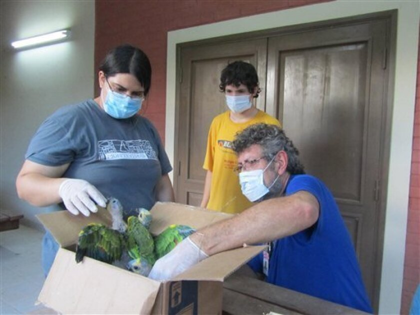 In this Dec. 15, 2012 photo provided by Paraguay's Environmental Ministry, rescued Blue-fronted Amazons parrots, whose scientific name is Amazona aestiva, are taken from a box by veterinarian Carlos Britos, right, at the Teniente Agripino Enciso National Park in Paraguay on the border with Bolivia border. Britos says many are still juveniles and were taken from their nests, and that they will be returned to the wild once they can fly. Police rescued 211 protected parrots taken from the remote forests of Paraguay, and made four arrests. Stealing wild animals and plants is a crime in Paraguay, punishable by up to eight years in prison. (AP Photo/Paraguay's Environmental Ministry)