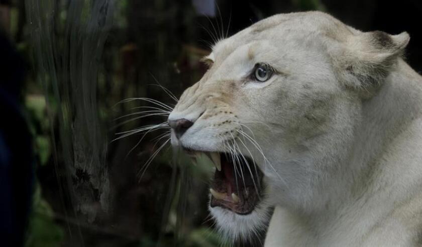 Las autoridades mexicanas capturaron hoy a una leona africana blanca que tenía con síntomas de deshidratación en una finca abandonada en el municipio de Cabo Corrientes, en el occidental estado de Jalisco, informó la Procuraduría Federal de Protección al Ambiente. EFE/ARCHIVO