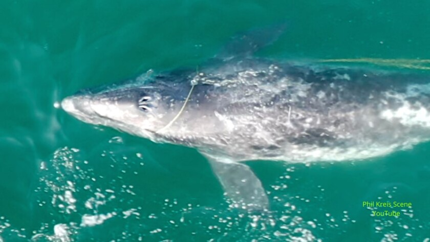 Whale watcher and drone enthusiast Phil Kreis captured footage of a whale calf with a rope entangled in its mouth.