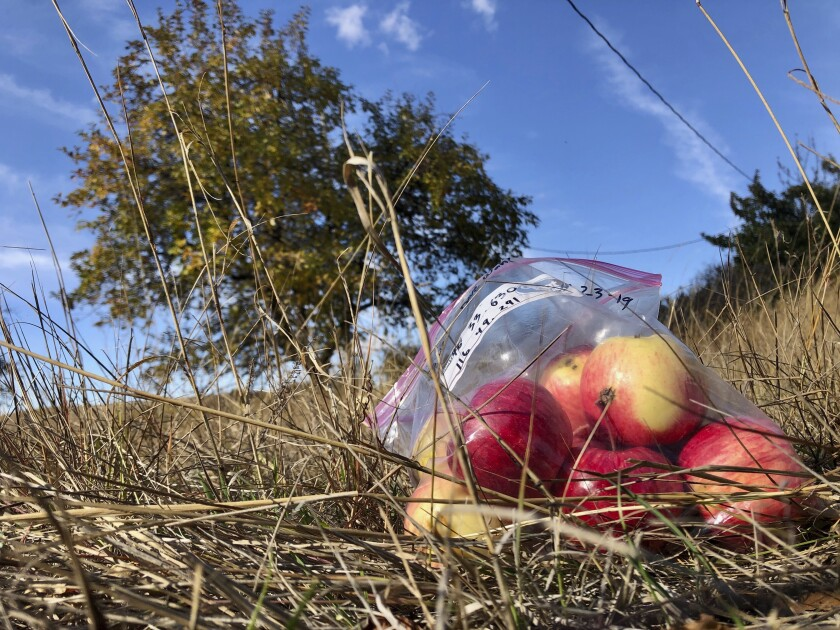 Apples collected last fall by amateur botanists David Benscoter and EJ Brandt of the Lost Apple Project rest on the ground in an orchard at an abandoned homestead near Genesee, Idaho.