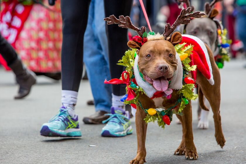 See tons of pups in festive costumes at the Gaslamp Pet Parade (Bradley Schweit)