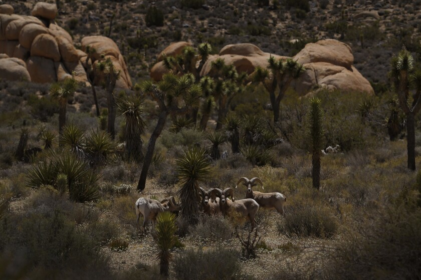 JOSHUA TREE, CA -- MONDAY, APRIL 25, 2016 -- An estimated 200-300 Desert Bighorn sheep call Joshua