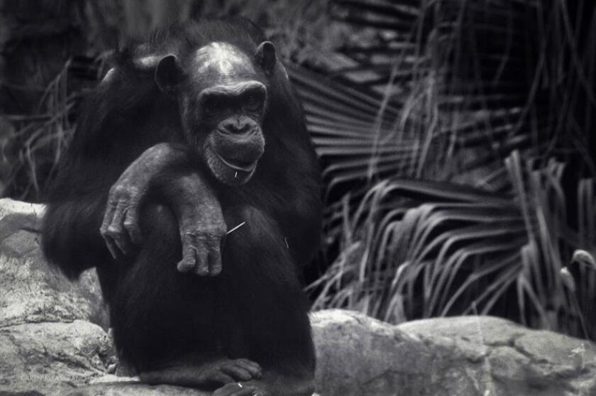 Fotografía sin fechar cedida por la asociación civil Proyecto Gran Simio México hoy, jueves 8 de marzo de 2018, que muestra al chimpancé Tamba en el zoológico de Aragón de Ciudad de México (México). EFE/Asociación Civil Proyecto Gran Simio México/SOLO USO EDITORIAL