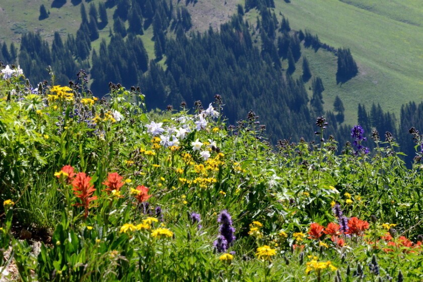 A new study finds that mountain wildflowers are blooming for more than a month longer than they did in the 1970s. Above, Wildflowers blooming at the Rocky Mountain Biological Laboratory near Crested Butte, Colo.