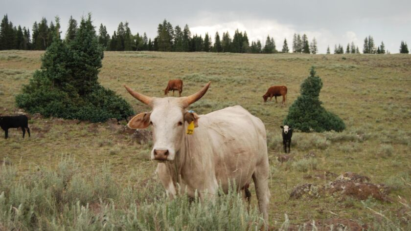 In this 2015 photo, cattle graze on Garfield County's Aquarius Plateau in the Dixie National Forest