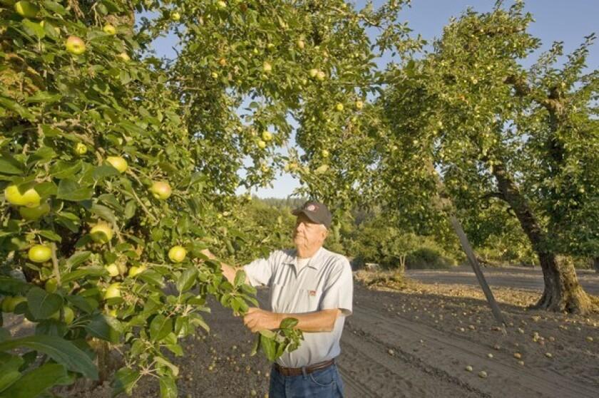 Gravenstein apple trees