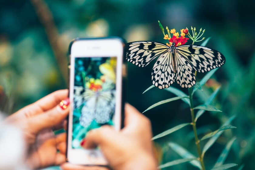 person using cell phone to take photo of butterfly