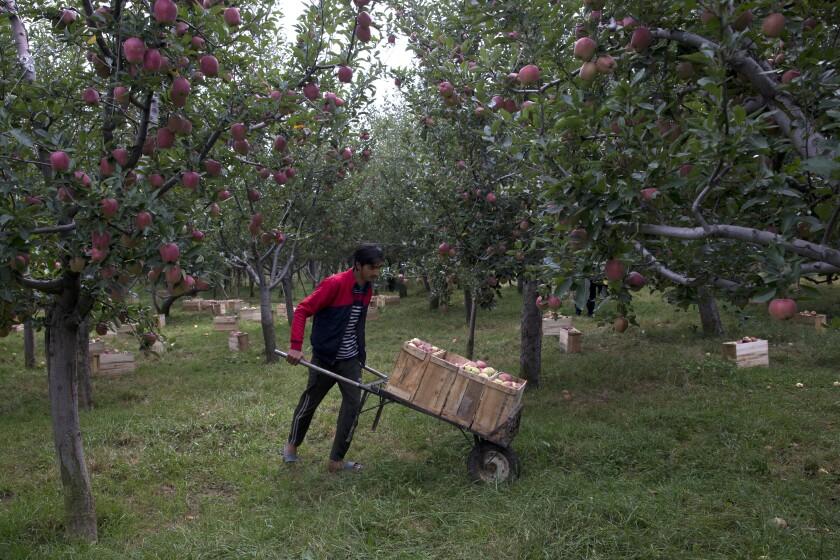 India Kashmir apple economy