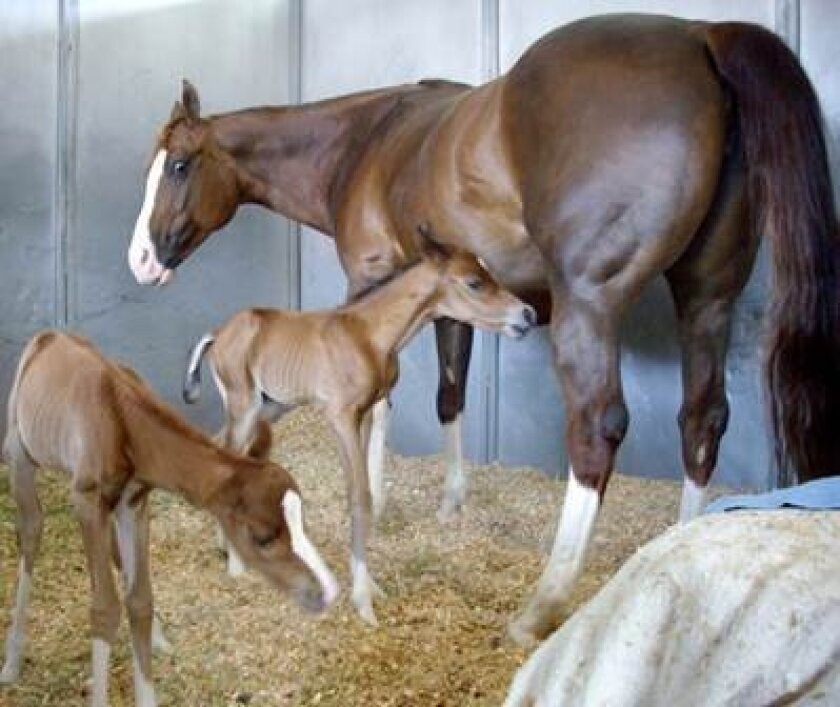 Miracle twin foals Sunny and Angel with Mom Lena about five years ago.