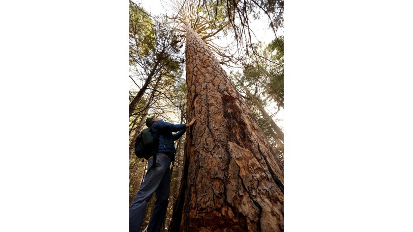 Research ecologist Nathan L. Stephenson looks over a dead Ponderosa pine in the Sequoia National Park.