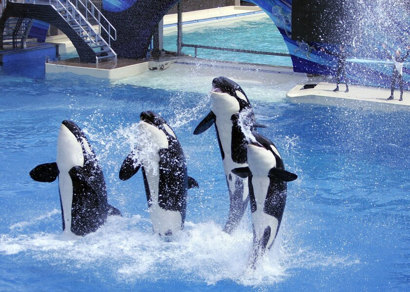 PETA contended in court that SeaWorld's orcas have been enslaved.  John Gastaldo • U-T