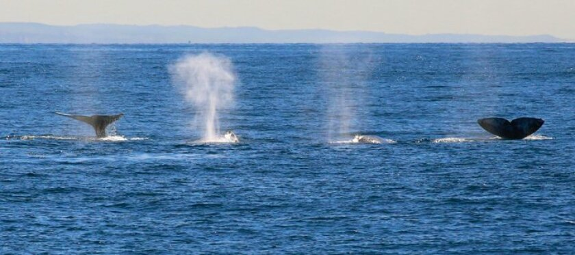 A pod of gray whales at the surface travel together off the Southern California coast as they head south toward Mexico.