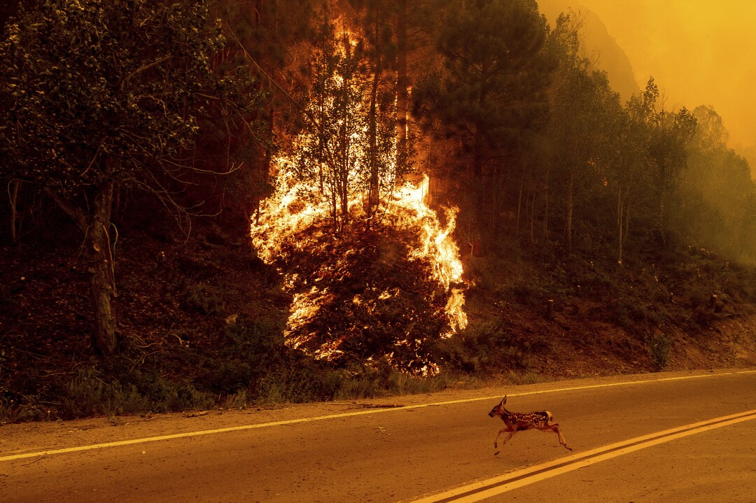 An animal sprints across a road as vegetation burns
