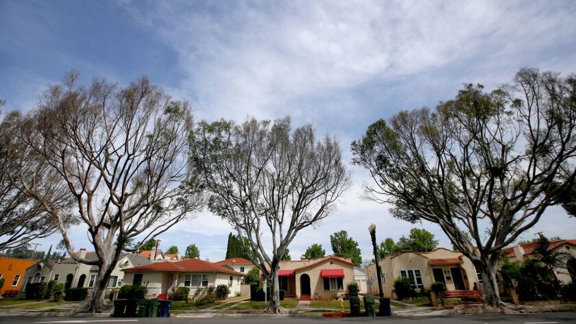 Ficus trees on Main Street in Alhambra show symptoms of botryosphaeria canker according, to Los Ange