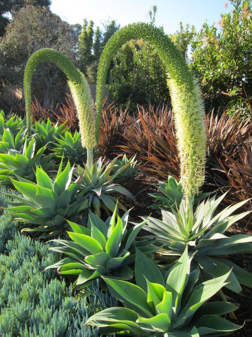 Foxtail agaves bloom from the base toward the tip.