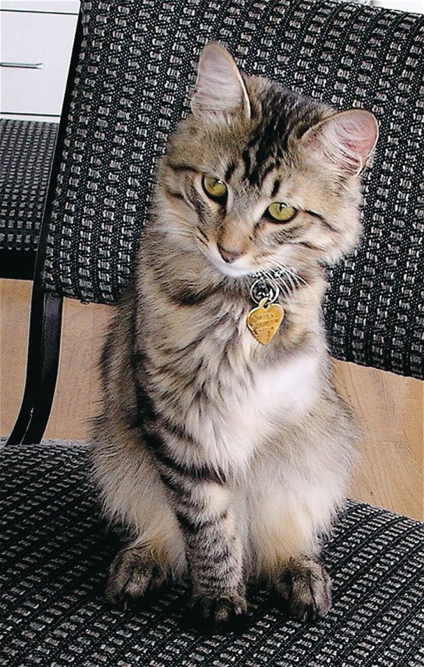 Henry J.M. has been named '2010 Cat of the Year' by the American Society for the Prevention of Cruelty to Animals (ASPCA). Courtesy