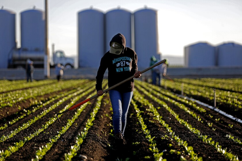 A worker thins a lettuce field outside Salinas, Calif.